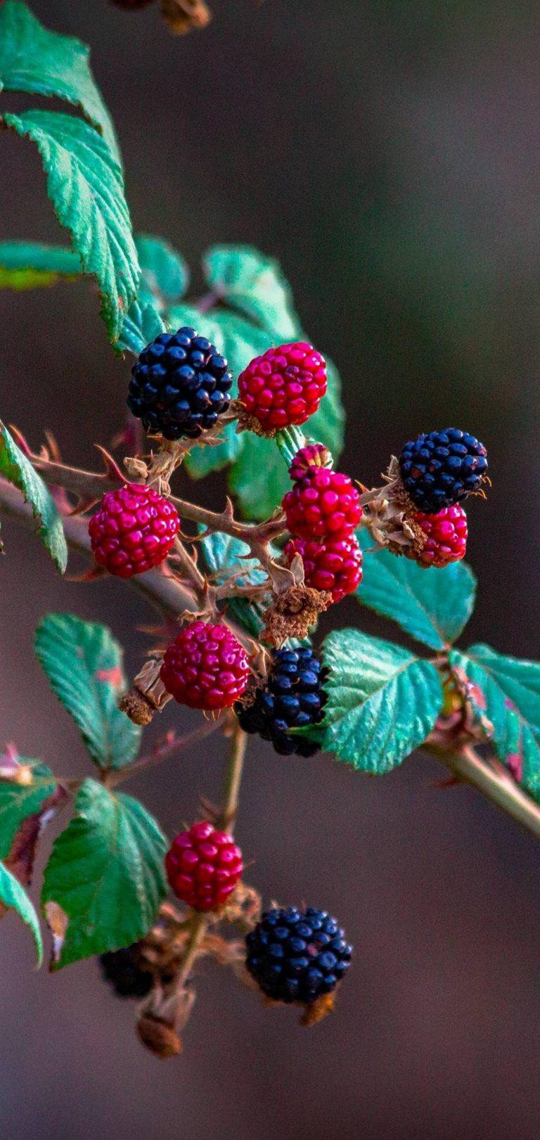 Fruits Raspberry Blackberry Wallpaper 1440x3040 768x1621