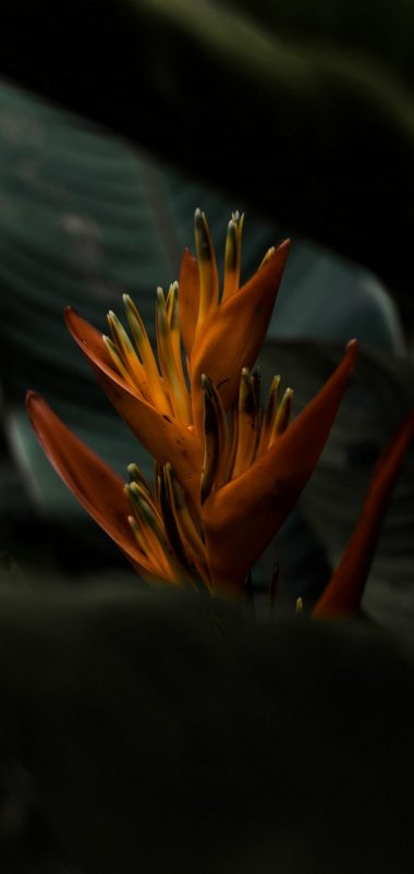 Heliconia Flower Wallpaper 1440x3040 380x802