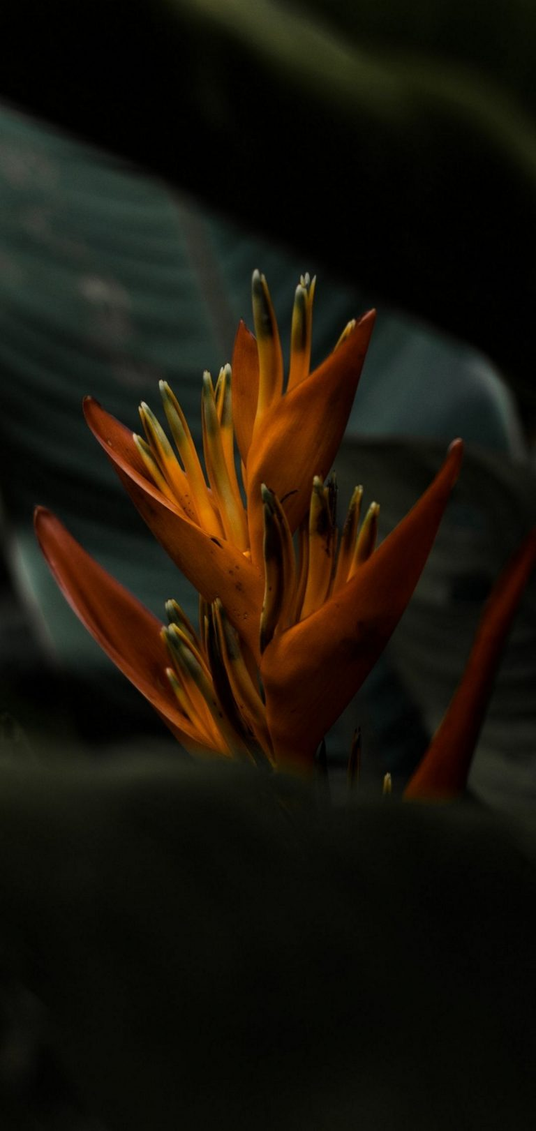 Heliconia Flower Wallpaper 1440x3040 768x1621