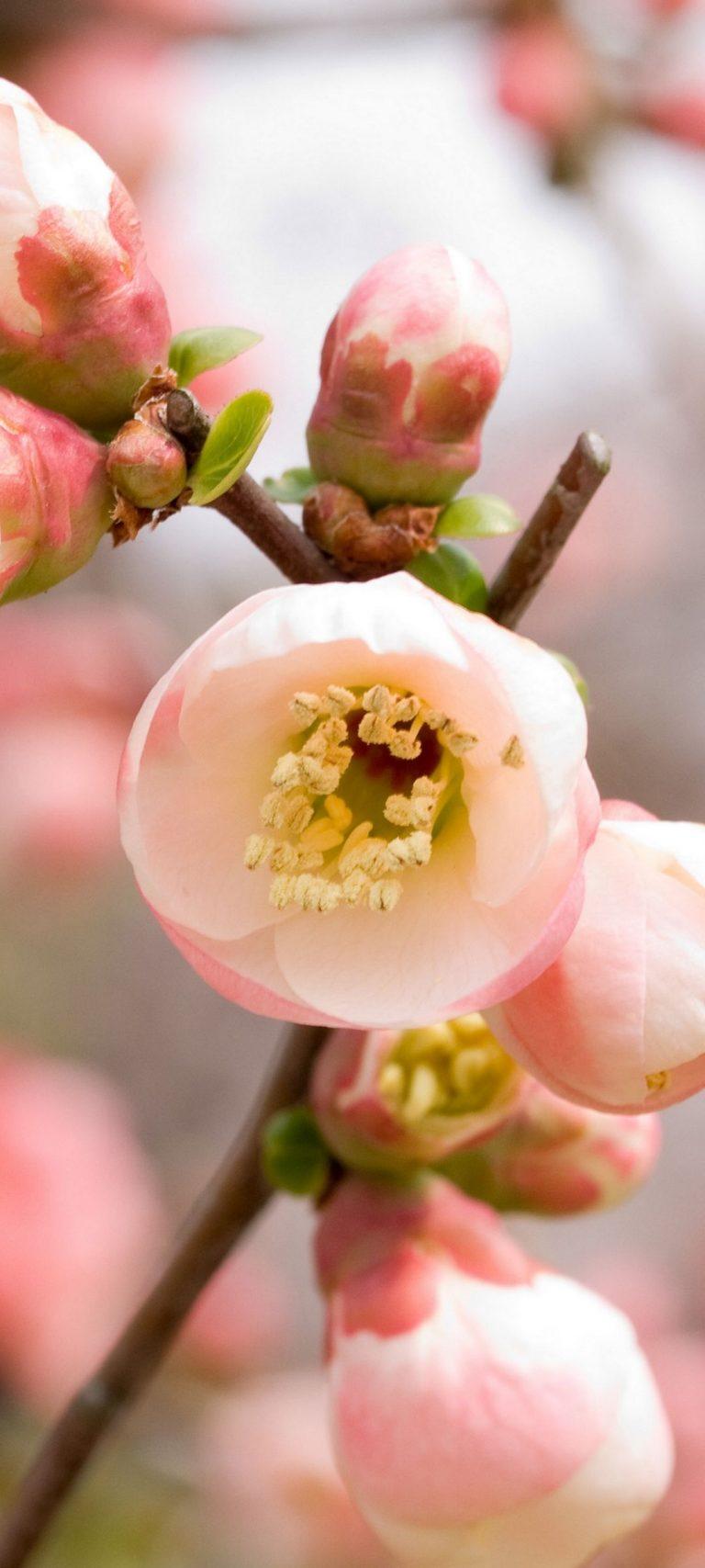 Macro Apple Flowers Flowering Pink 1080x2400 768x1707