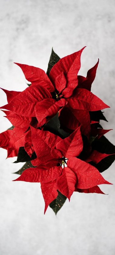 Poinsettia Red Flower 1080x2400 380x844