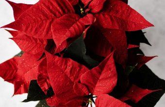 Poinsettia Red Flower Wallpaper 1440x3040 340x220