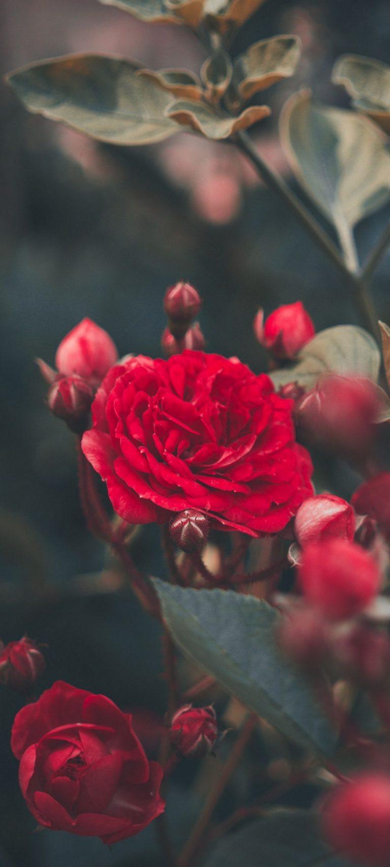 Red Rose Bush Garden 1080x2400 768x1707