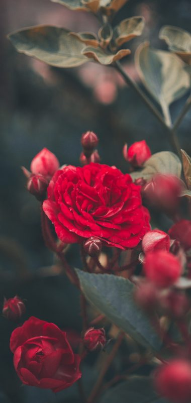 Red Rose Bush Garden Wallpaper 1440x3040 380x802
