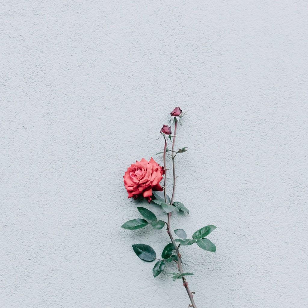 Rose Wall Minimalism Wallpaper 1024x1024