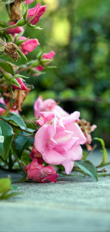 Roses Flowers Bushes Concrete Wallpaper 1440x3040 380x802