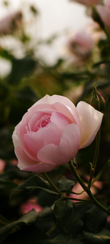 Roses Flowers Bushes Garden 1080x2400 380x844