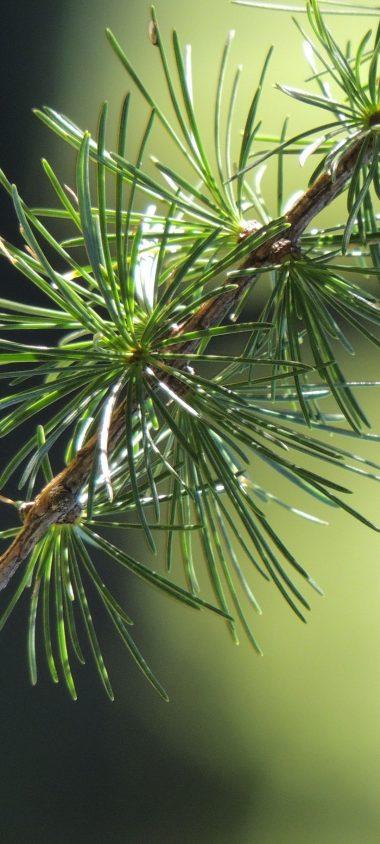 Spruce Branch Thorn Macro 1080x2400 380x844