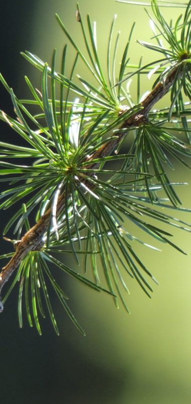 Spruce Branch Thorn Macro Wallpaper 1440x3040 380x802