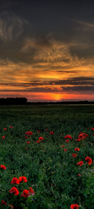 Sunset Field Poppies Landscape 1080x2400 380x844