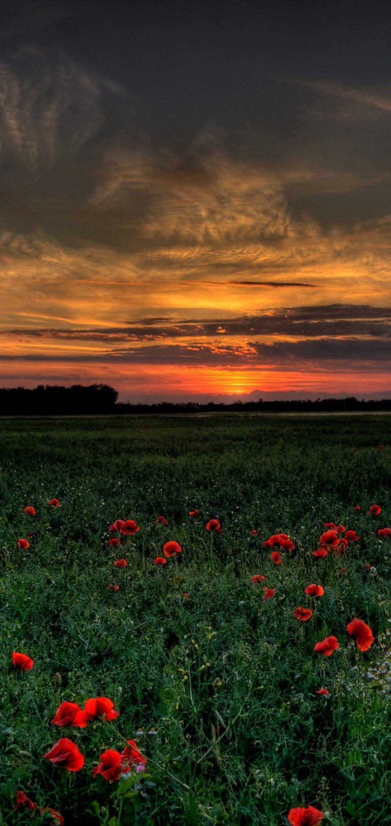 Sunset Field Poppies Landscape Wallpaper 1440x3040 768x1621