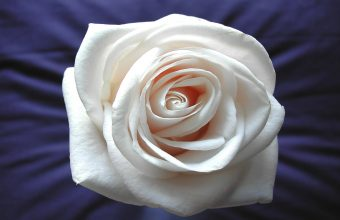 White Rose Wallpaper 07 2560x1600 340x220