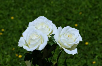White Rose Wallpaper 08 3840x2160 340x220