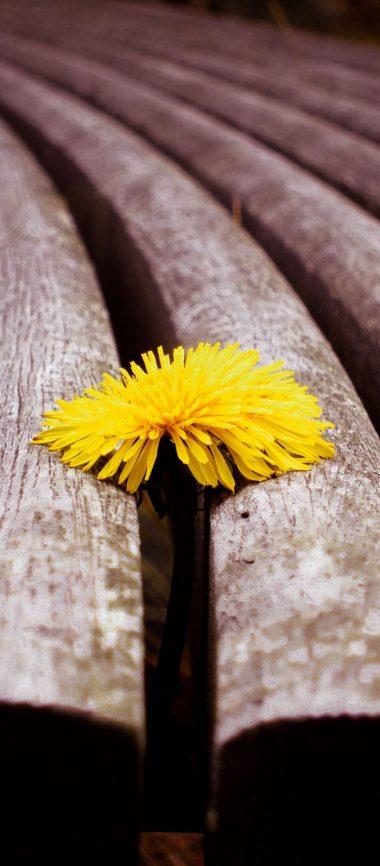 Close Up Timber Dandelion Yellow 1080x2460 380x866