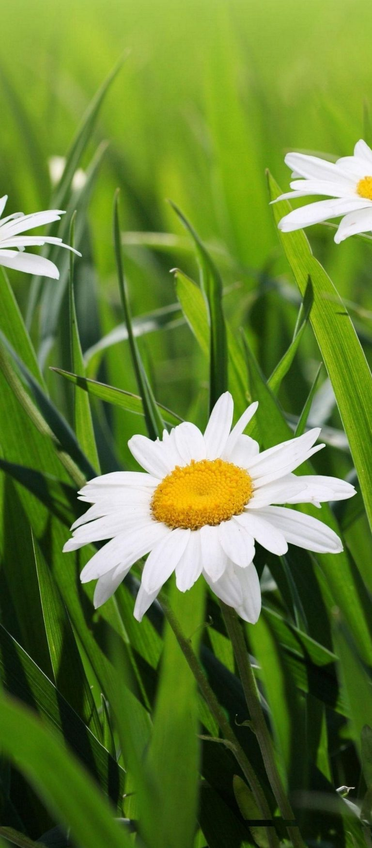 Daisies Flowers Grass Green Blur 1080x2460 768x1749