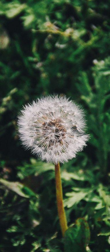 Dandelion Flower Grass 1080x2460 380x866