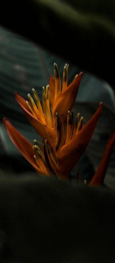 Heliconia Flower 1080x2460 380x866