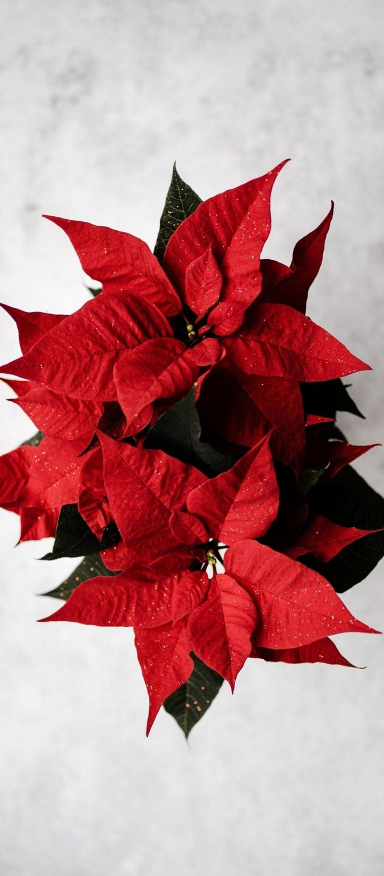 Poinsettia Red Flower 1080x2460 768x1749