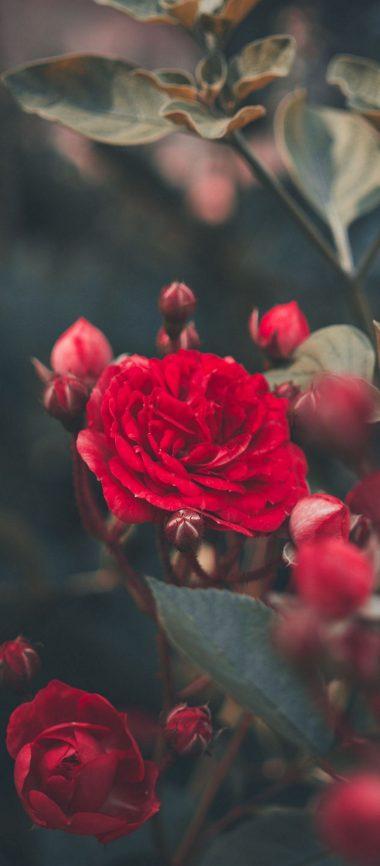 Red Rose Bush Garden 1080x2460 380x866