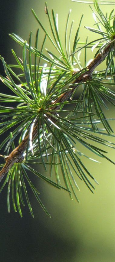 Spruce Branch Thorn Macro 1080x2460 380x866