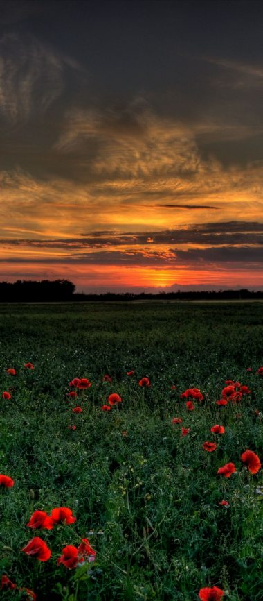 Sunset Field Poppies Landscape 1080x2460 380x866