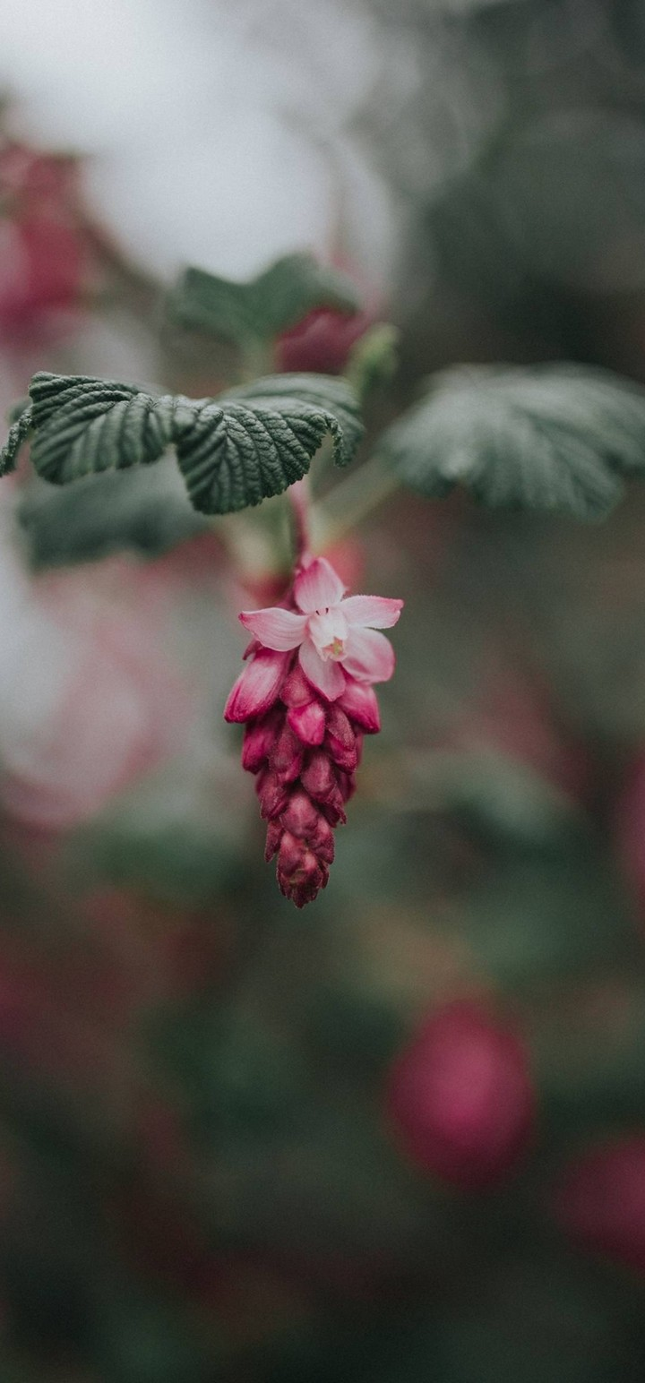 Bloom Pink Flower Blur Wallpaper 720x1544
