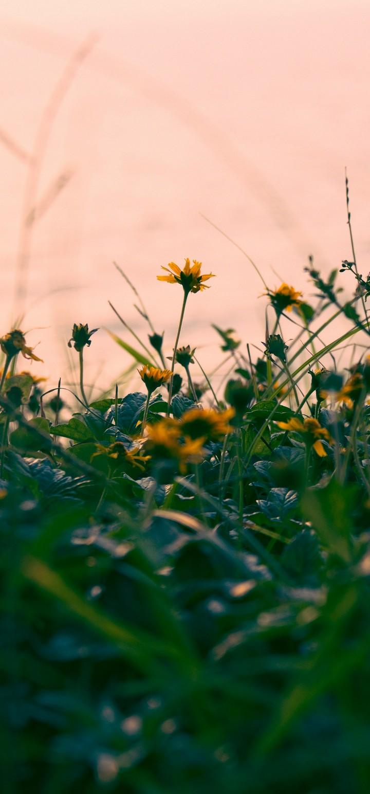 Flowers Yellow Grass Wallpaper 720x1544
