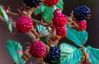 Fruits Raspberry Blackberry Wallpaper 720x1544 340x220