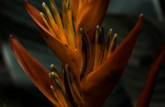 Heliconia Flower Wallpaper 720x1544 340x220