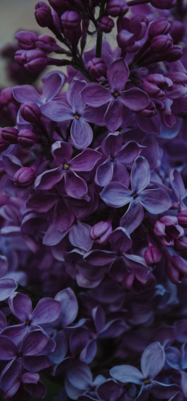 Lilac Inflorescences Flowers Wallpaper 720x1544 380x815
