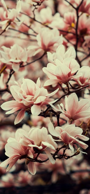 Magnolia Flowers Branches Wallpaper 720x1544 380x815