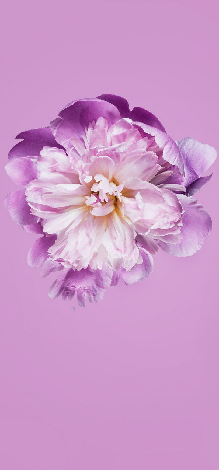 Pink Petals Flower Wallpaper 720x1544