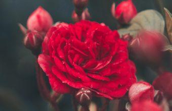 Red Rose Bush Garden Wallpaper 720x1544 340x220