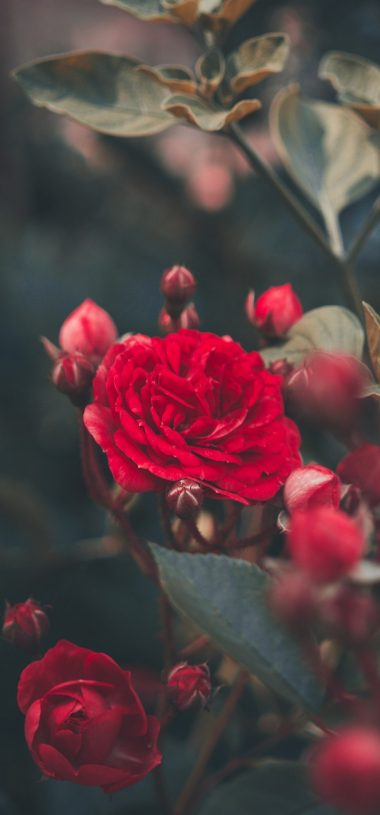 Red Rose Bush Garden Wallpaper 720x1544 380x815