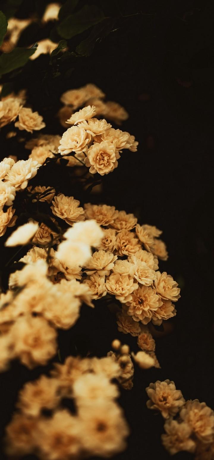 Rosa Banksiae Flower Plant Wallpaper 720x1544