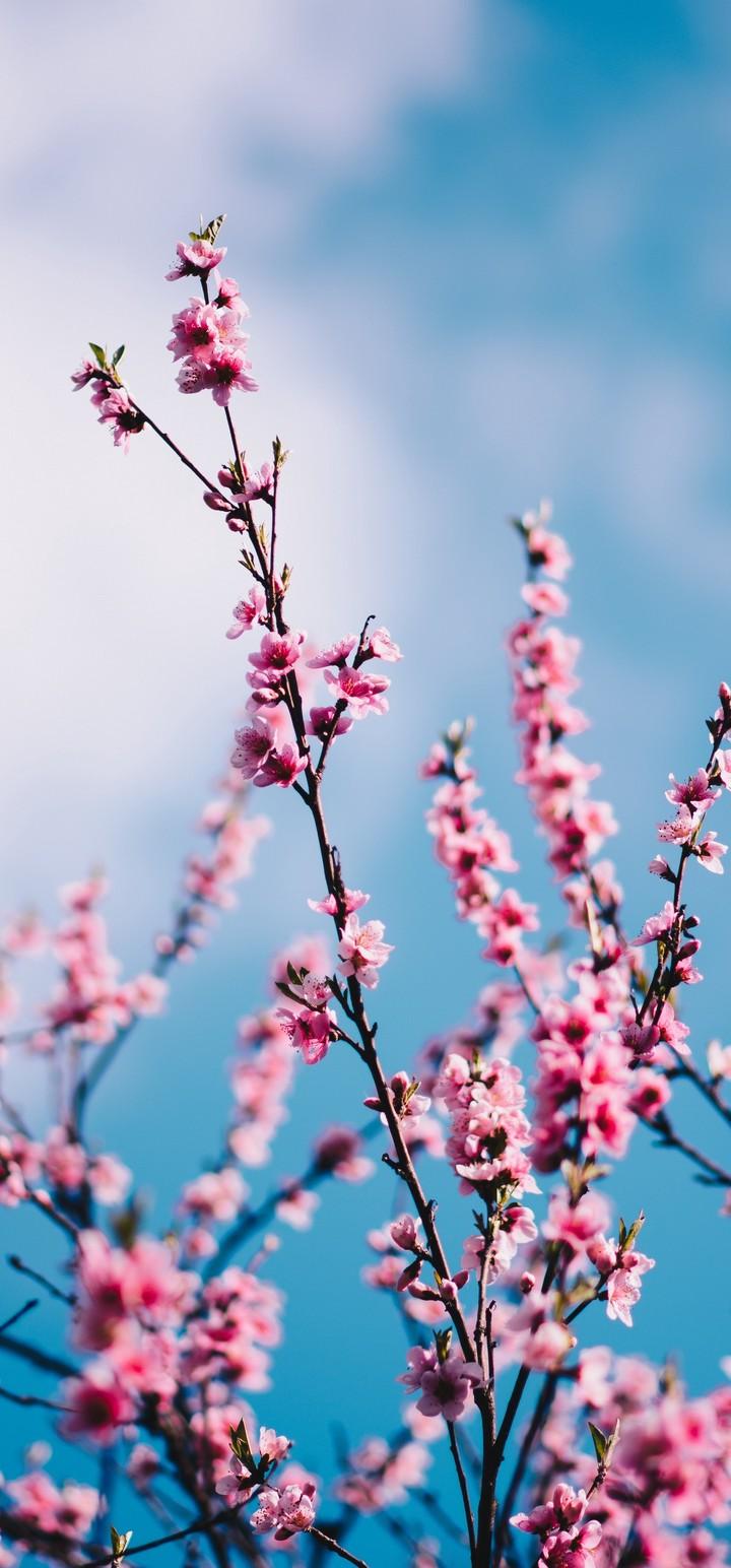 Sakura Flowers Branches Wallpaper 720x1544