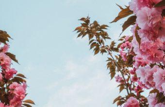 Sakura Flowers Pink Wallpaper 720x1544 340x220