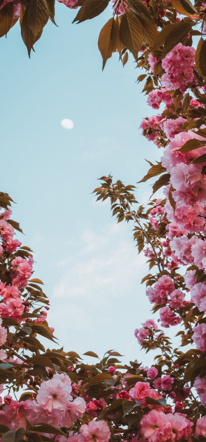Sakura Flowers Pink Wallpaper 720x1544