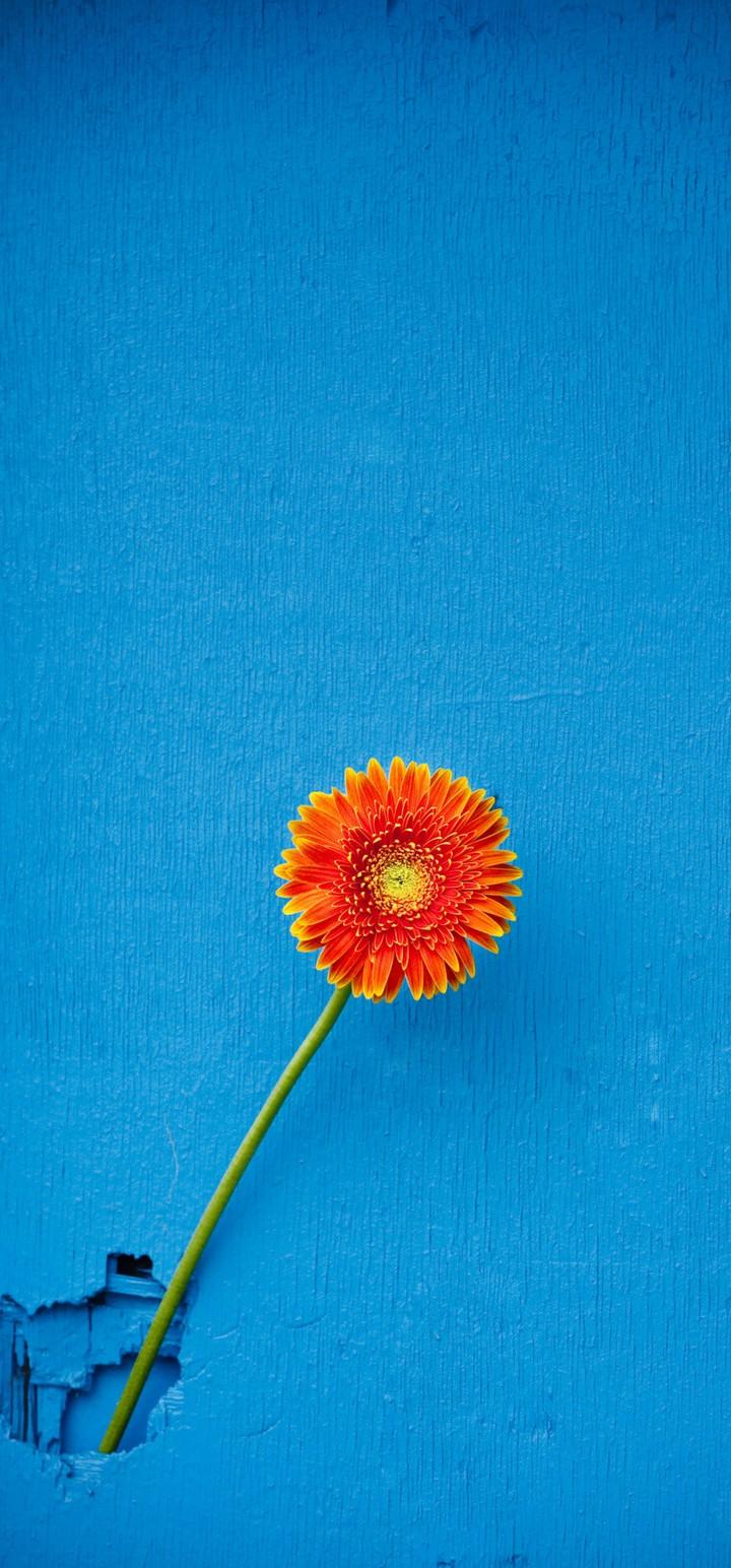 Texture Back Orange Flower Wallpaper 720x1544