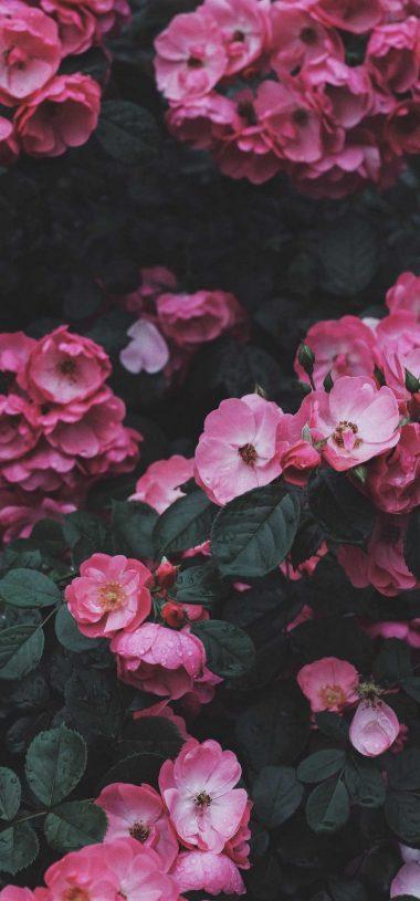 Wild Rose Rose Bush Wallpaper 720x1544 380x815