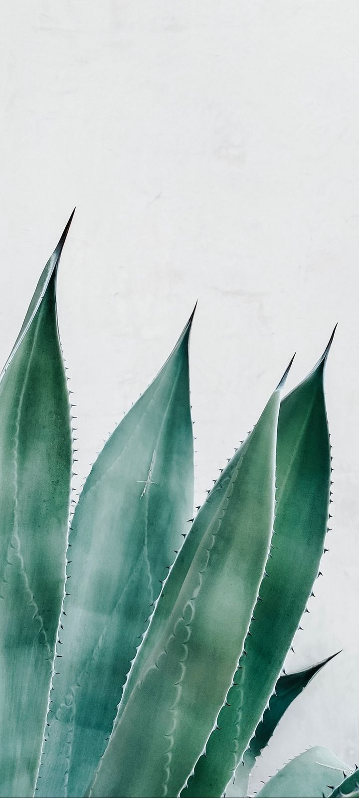 Aloe Succulent Plant Wallpaper 720x1600