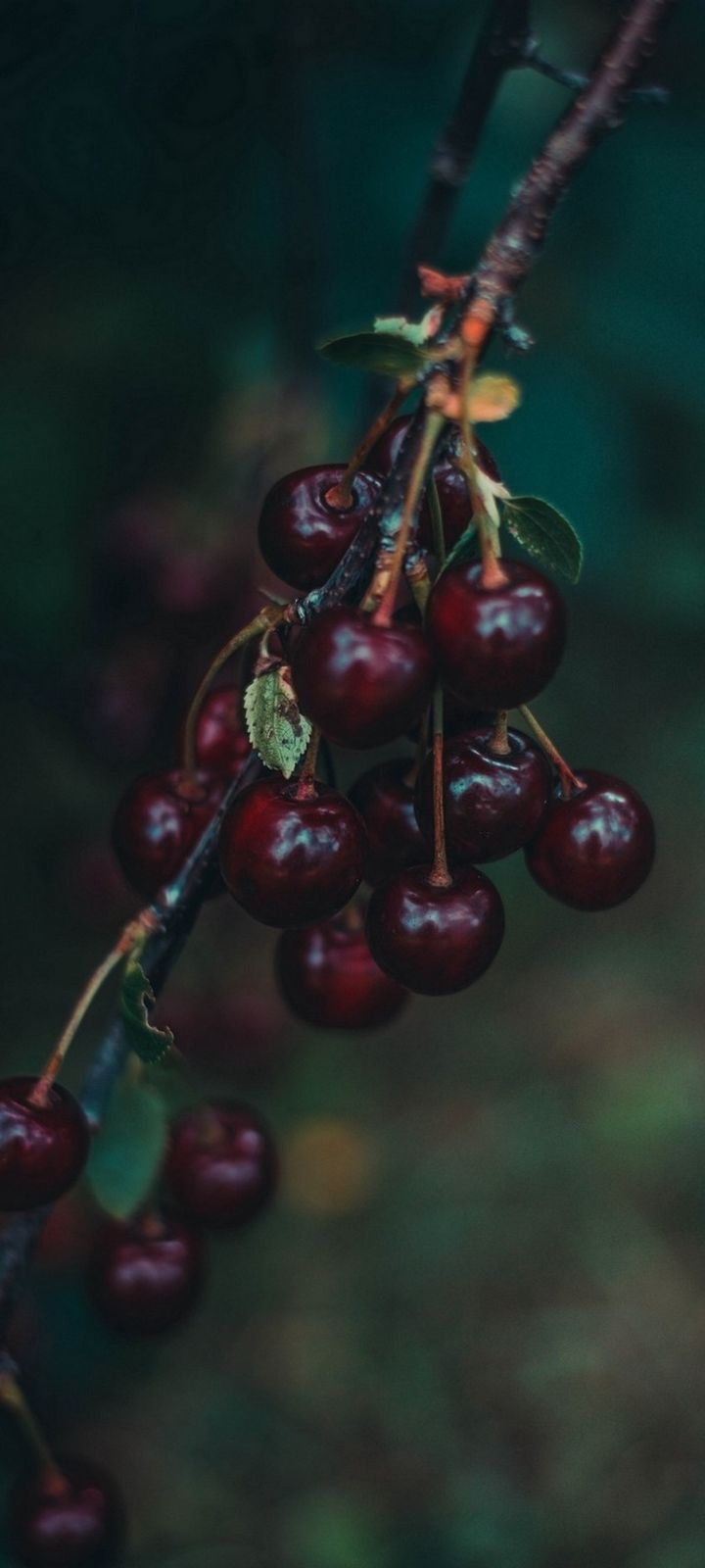 Cherries Berries Branch Wallpaper 720x1600