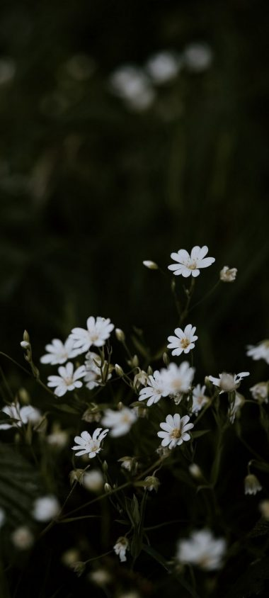 Chickweeds Flowers Flowering Wallpaper 720x1600 380x844