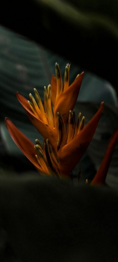 Heliconia Flower Wallpaper 720x1600 380x844