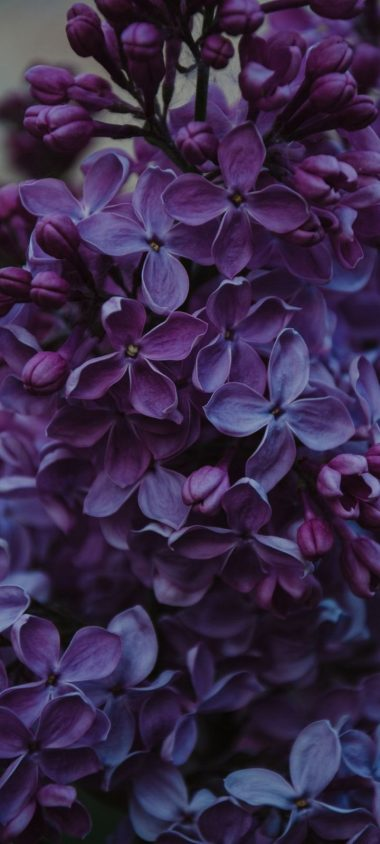 Lilac Inflorescences Flowers Wallpaper 720x1600 380x844
