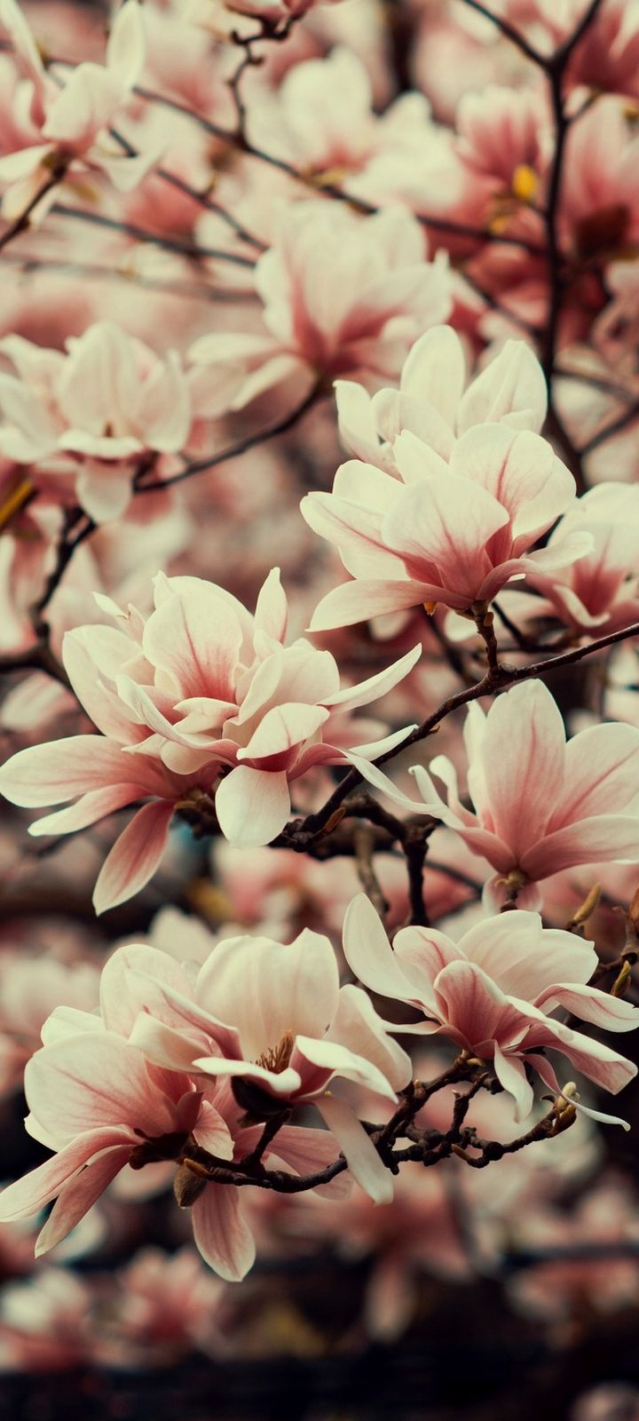 Magnolia Flowers Branches Wallpaper 720x1600