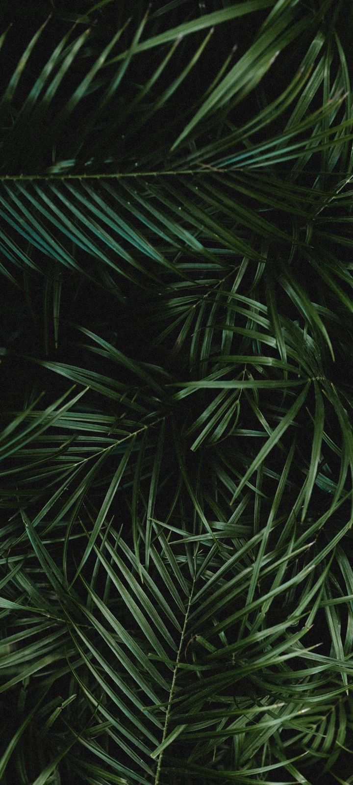 Palm Leaves Branches Wallpaper 720x1600