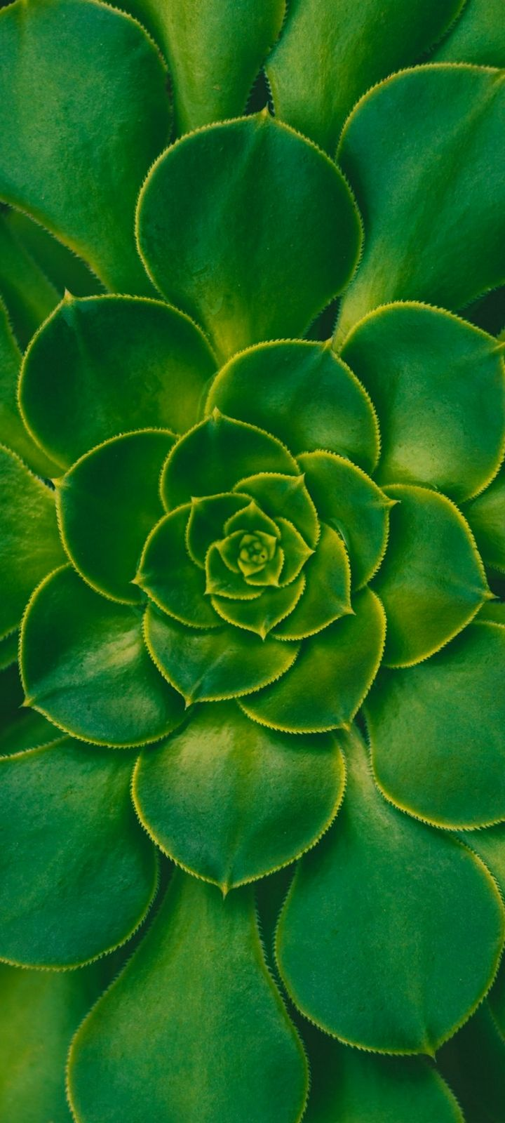 Plant Succulent Green Wallpaper 720x1600