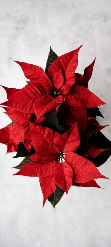Poinsettia Red Flower Wallpaper 720x1600 380x844