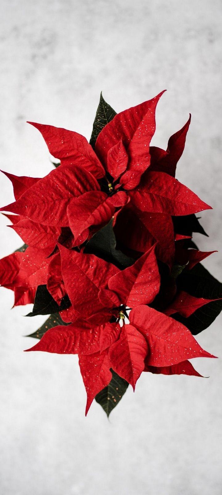 Poinsettia Red Flower Wallpaper 720x1600